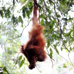 Sumatra (12)