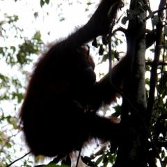 Sumatra (2)