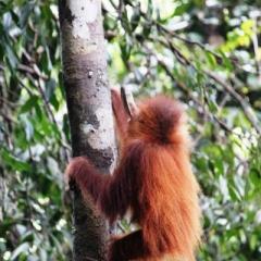 Sumatra (3)