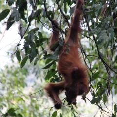 Sumatra (5)