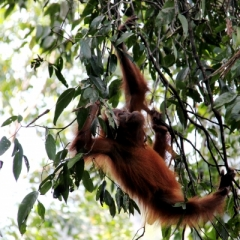 Sumatra (8)