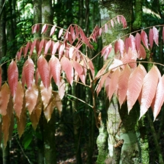 Suriname (15)